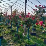丰花月季种植基地  50公分丰花月季多少钱一棵