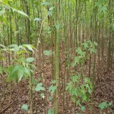 青枫树价格 12公分15公分青枫树多少钱一棵