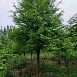 池杉价格 地径7公分8公分池杉多少钱一棵