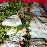 长林系列油茶杯苗 江西油茶苗基地