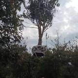 5公分青枫小苗 20公分青枫树价格多少钱一棵