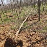 3公分5公分重阳木价格多少 江西重阳木小苗基地