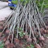 15公分枫香树多少钱一棵 10~12~15公分枫香价格报价
