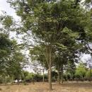 5公分榉树价格多少钱 5至10公分榉树市场报价