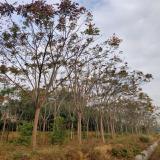 5公分栾树价格 基地栾树价格是多少钱一棵