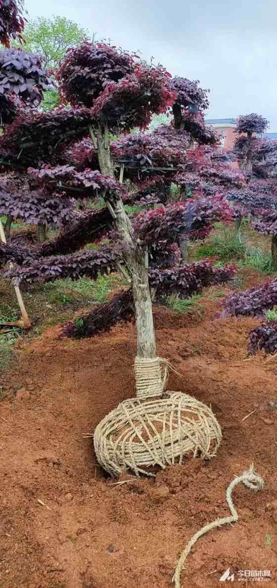 15公分造型紅花繼木樁價格 紅花繼木盆景批發
