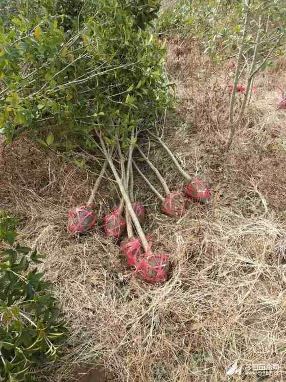 10公分12公分桂花树多少钱一棵 占地桂花价格表