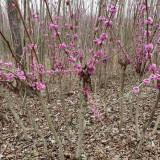 4公分紫荆树价格 江苏4公分紫荆树供应批发