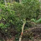 10公分红翅槭价格 11公分红翅槭多少钱一棵