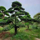 15公分造型油松多少钱一棵 江苏造型油松价格