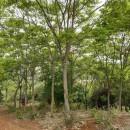 无患子哪里有卖 12公分15公分无患子树多少钱一棵
