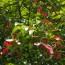 15公分红翅槭价格 江西红翅槭种植基地