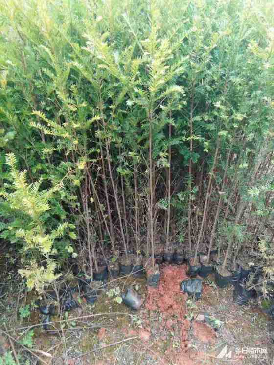 红豆杉小杯苗多少钱一棵 江西红豆杉基地