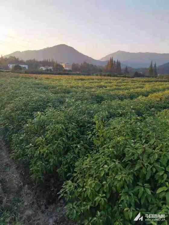 冠幅50公分香樟苗价格 江西香樟苗木基地