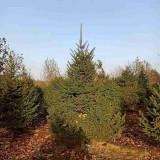 3米云杉树价格 3米云杉树苗多少钱一棵