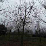 江苏重阳木 10公分重阳木价格多少钱一棵