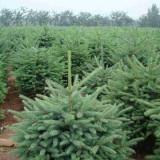 2米高云杉树价格  2米云杉树多少钱一颗