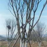 米径9公分丛生五角枫价格多少钱一颗