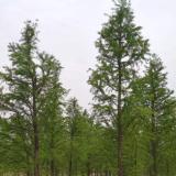 7公分水杉多少钱一棵 江西水杉基地批发