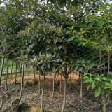 厚皮香价格 7公分厚皮香树多少钱一棵