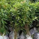 木荷树苗哪里有卖 木荷小苗基地批发