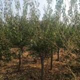 梅花树苗价格 8公分梅花树多少钱一棵