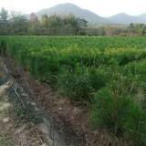 湿地松小苗哪里有卖的 基地湿地松杯苗价格