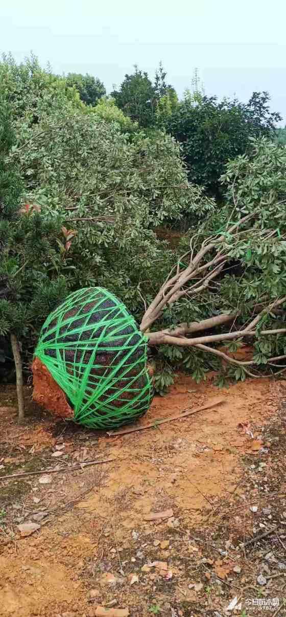 2米冠杨梅树价格 基地2.5米杨梅树批发