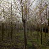 3公分喜树价格 基地4公分喜树多少钱一棵