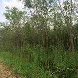 5公分黄连木价格 江西黄连木种植基地