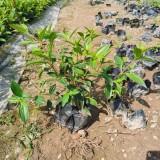 野牡丹袋苗价格 高25公分野牡丹苗多少钱一棵