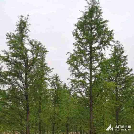 8公分水杉价格 绿化用水杉树多少钱一株