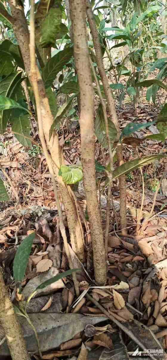 12公分枇杷樹價格 枇杷樹優質苗哪里有