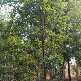 3公分木荷基地批发 木荷树4公分价格