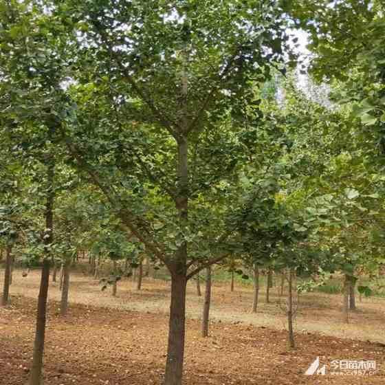 3公分榉树哪里有 江西榉树价格多少钱一棵