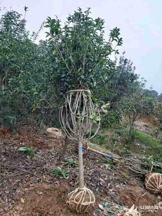 大桂花樹價格 15公分18公分桂花樹多少錢一棵