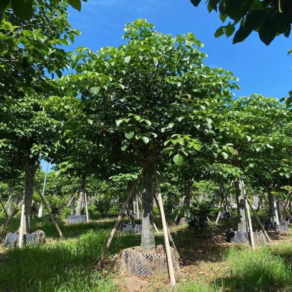秋枫树哪里有卖 20公分秋枫价格多少钱一棵