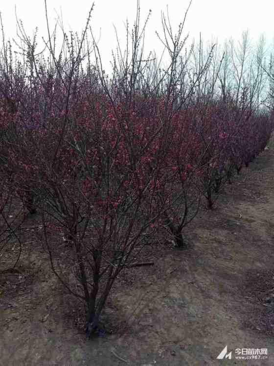 12-15公分的紅梅價格 江蘇哪里有紅梅樹