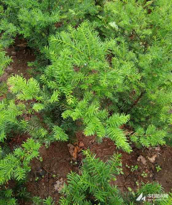 东北红豆杉价格  70公分红豆杉多少钱一棵