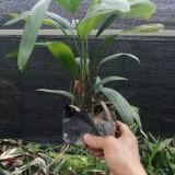 棕竹盆景价格 漳州棕竹种植基地