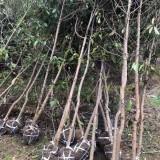 木荷树苗处理 2公分3公分木荷树苗