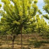金叶复叶槭价格 供应8-10公分金叶复叶槭