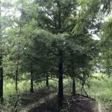 8-12公分池杉价格多少钱一棵 江苏池杉基地