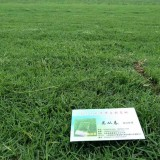 百慕大草坪价格 基地批发百慕大草坪草