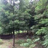 4公分池杉价格 基地5公分池杉多少钱一株