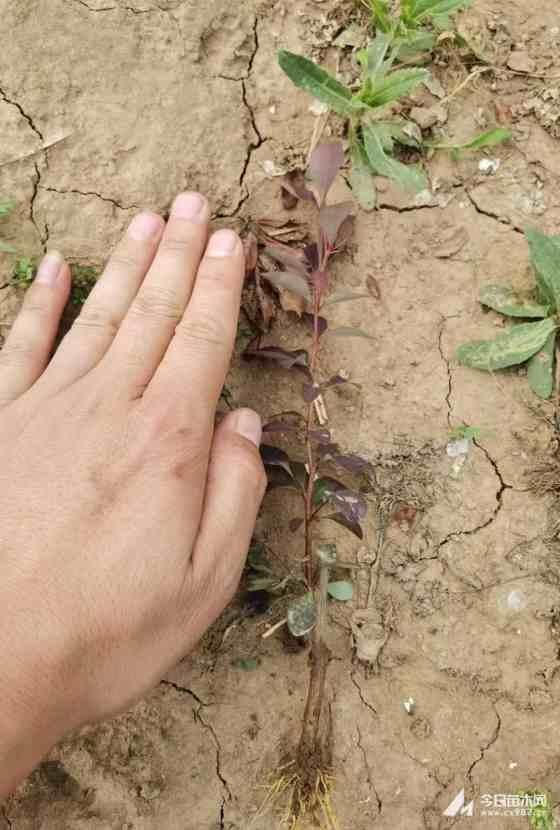 高15公分紅葉小檗床苗價格多少錢