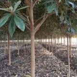 8公分枇杷树苗价格 江苏枇杷树苗多少钱一棵
