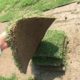 马尼拉草坪的价格 优质马尼拉草坪基地直销