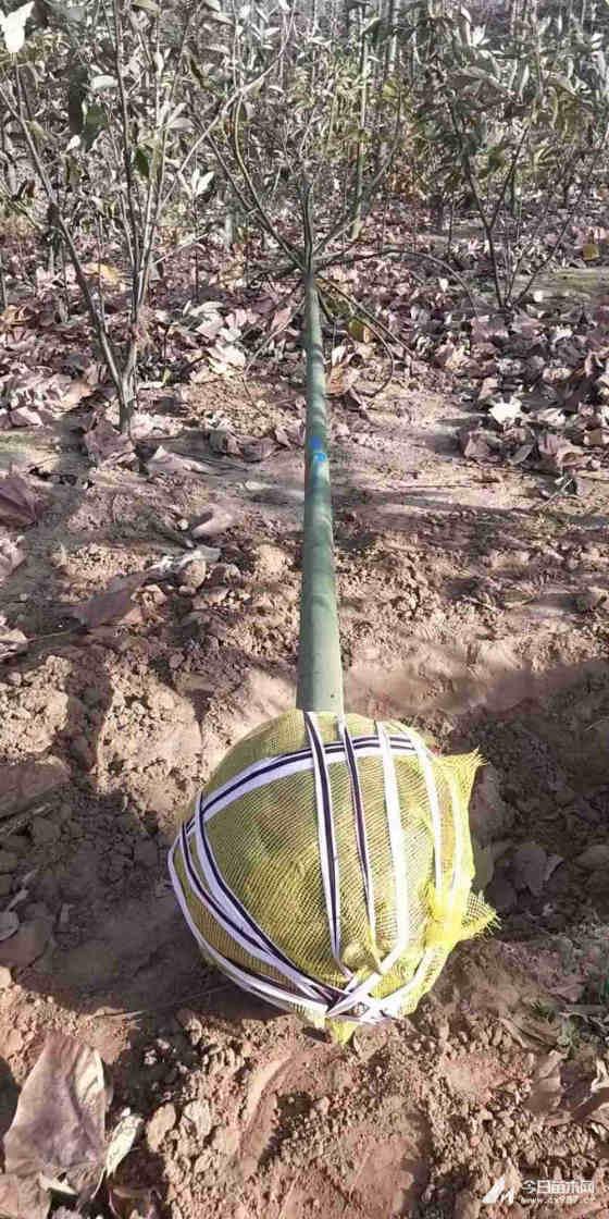 12公分青桐树哪里有 江苏12公分青桐价格