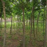10公分皂角树价格是多少 江苏皂角树出售
